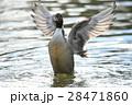 オナガガモの羽ばたきa5 28471860
