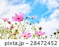 コスモス 秋晴れ ピンクの写真 28472452