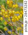 ロウバイ ろうばい 梅の写真 28473282