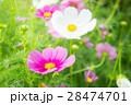 花 コスモス フラワーの写真 28474701