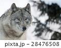 狼 オオカミ シンリンオオカミの写真 28476508