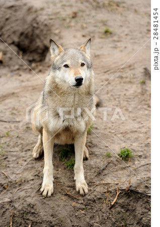 Timber Wolf (Canis lupus) 28481454