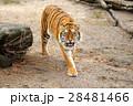 動物 タイガー トラの写真 28481466
