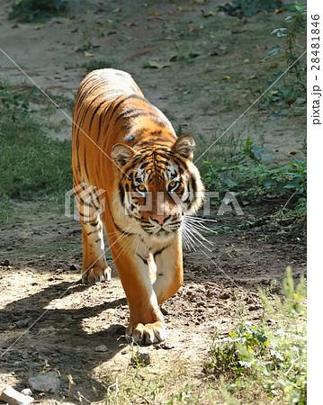Tigerの写真素材 [28481846] - PIXTA