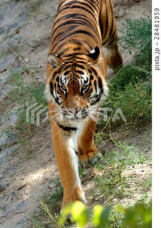Tigerの写真素材 [28481959] - PIXTA