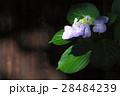 紫陽花 28484239