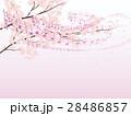 ソメイヨシノ 28486857