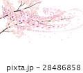 ソメイヨシノ 28486858