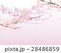 ソメイヨシノ 28486859