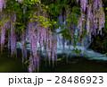 藤 藤の花 山藤の写真 28486923