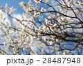 梅 白梅 飛梅の写真 28487948