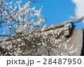 梅 白梅 飛梅の写真 28487950