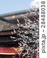 梅 飛梅 白梅の写真 28488038