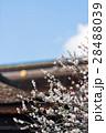 梅 飛梅 白梅の写真 28488039