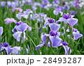 花菖蒲 28493287