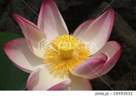 蓮の花 満開 28493632