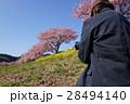 河津桜と男性 28494140