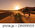 Camel eating grass at sunrise, Erg Chebbi, Morocco 28499059