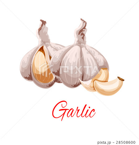 Garlic cloves and heads vector icon 28508600