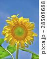 花 ヒマワリ 黄色の写真 28508688