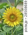 花 ヒマワリ 黄色の写真 28508689