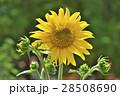 花 ヒマワリ 黄色の写真 28508690