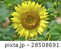 花 ヒマワリ サンフラワーの写真 28508691