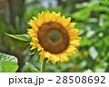 花 ヒマワリ 黄色の写真 28508692