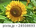 花 ヒマワリ 黄色の写真 28508693