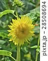 花 ヒマワリ 黄色の写真 28508694