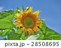 花 ヒマワリ 黄色の写真 28508695