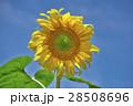 花 ヒマワリ 黄色の写真 28508696