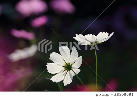 コスモス (センセーション) その21。 Cosmos flower 28509691