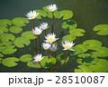 White lotus / water lily  28510087
