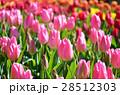 チューリップ チューリップ畑 花畑の写真 28512303