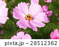 大波斯菊 28512362