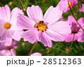 大波斯菊 28512363