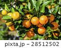 オレンジ色 オレンジ 橙の写真 28512502