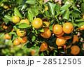 オレンジ色 オレンジ 橙の写真 28512505