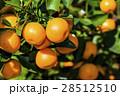 オレンジ色 オレンジ 橙の写真 28512510