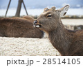 宮島 鹿 野生動物 28514105
