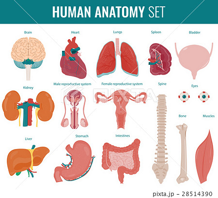 Human internal organs. Anatomy set. Vector 28514390