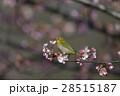 桜 花 河津桜の写真 28515187