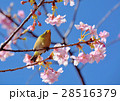 鳥 メジロ 桜の写真 28516379