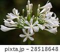 白きアガパンサス 28518648