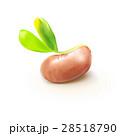 双葉 芽生え 新芽のイラスト 28518790