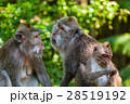 Monkey in forest park in Ubud - Bali Indonesia 28519192