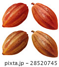 木の実 カカオの実 カカオのイラスト 28520745