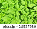 Lush young green leaves of stinging nettle 28527939