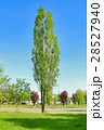 Tall aspen in young green spring leafy foliage 28527940